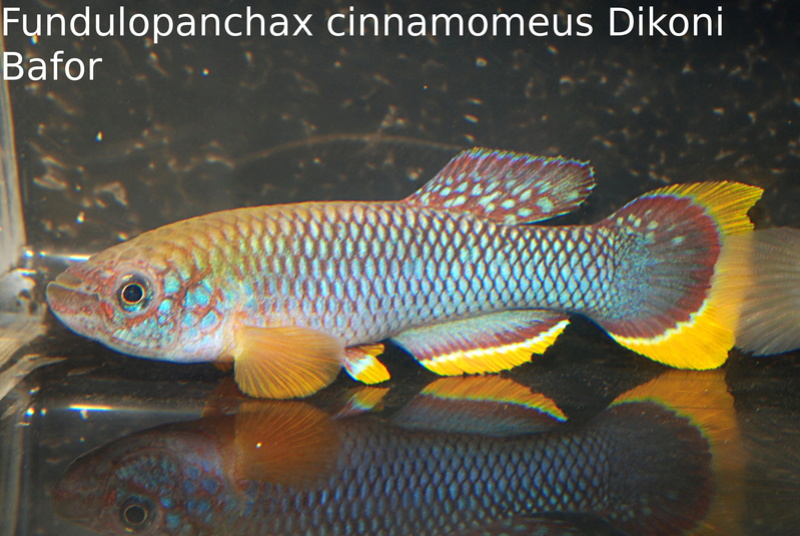 Photos des poissons du congrès KCF 2016 1-3010