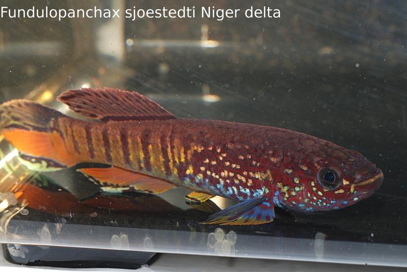 Photos des poissons du congrès KCF 2016 1-3110
