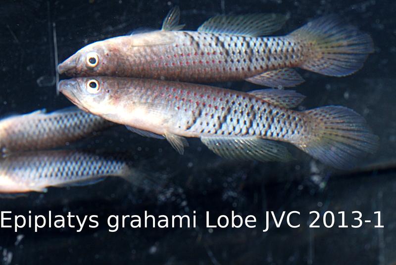 Photos des poissons du congrès KCF 2016 10-1710