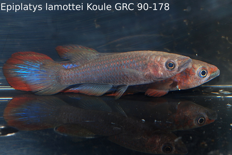 Photos des poissons du congrès KCF 2016 10-3710