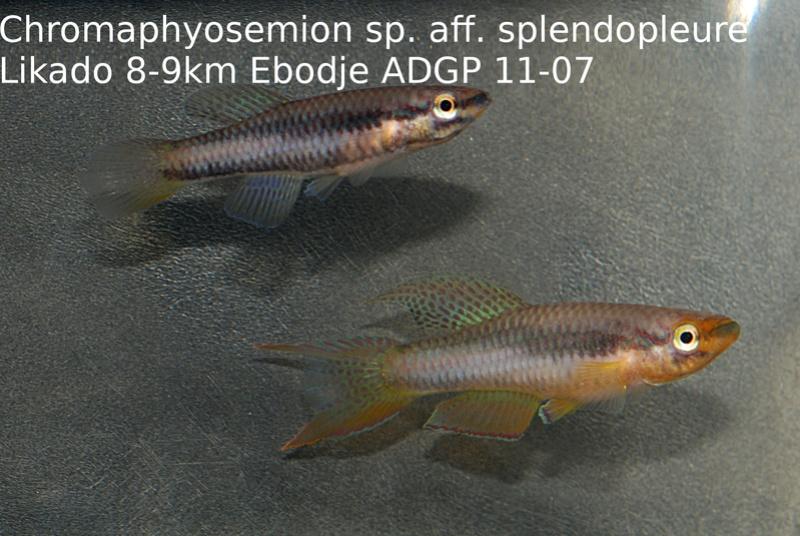 Photos des poissons du congrès KCF 2016 3-1710