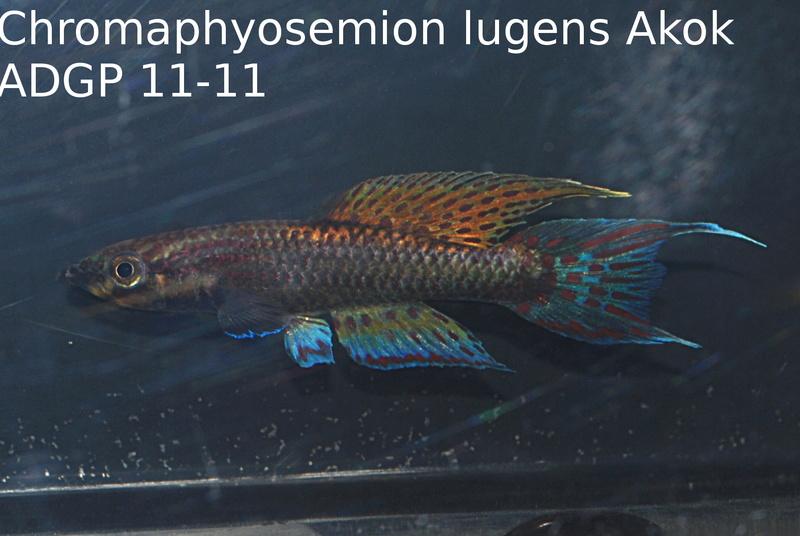 Photos des poissons du congrès KCF 2016 3-1810