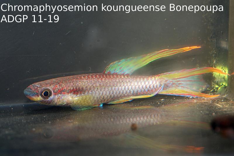 Photos des poissons du congrès KCF 2016 3-210