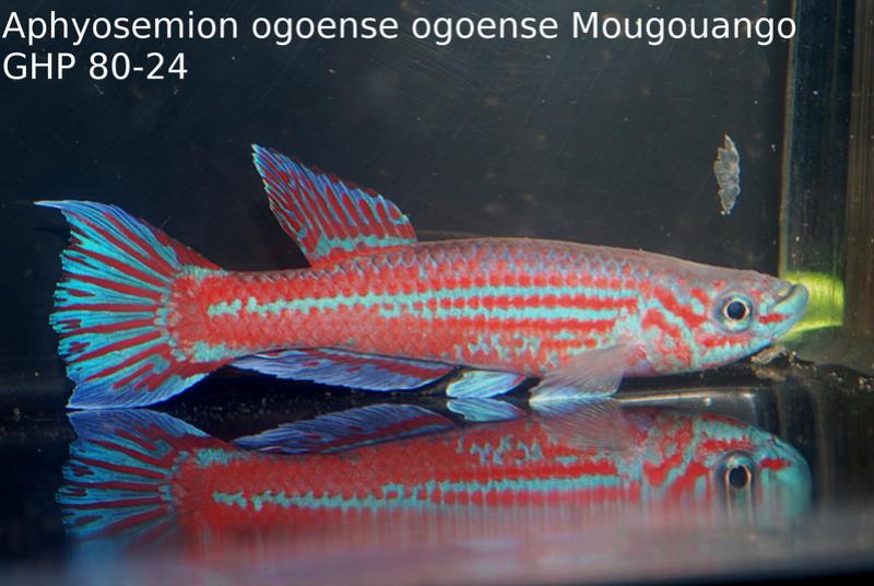 Photos des poissons du congrès KCF 2016 4-1610