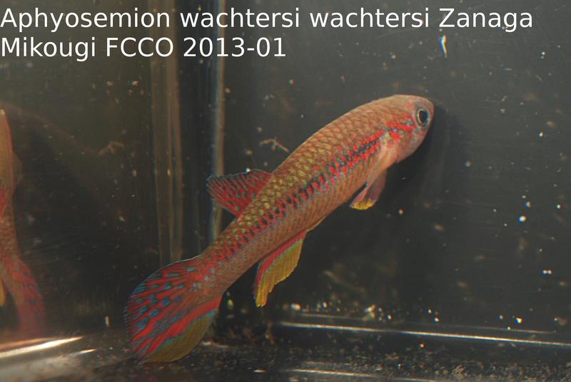 Photos des poissons du congrès KCF 2016 4-210