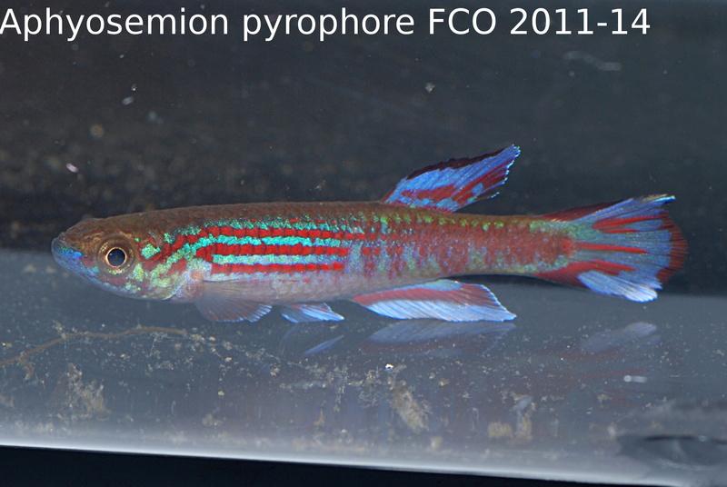 Photos des poissons du congrès KCF 2016 4-22e_10