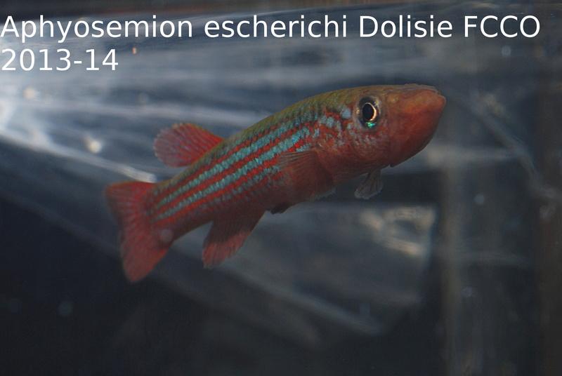 Photos des poissons du congrès KCF 2016 4-310