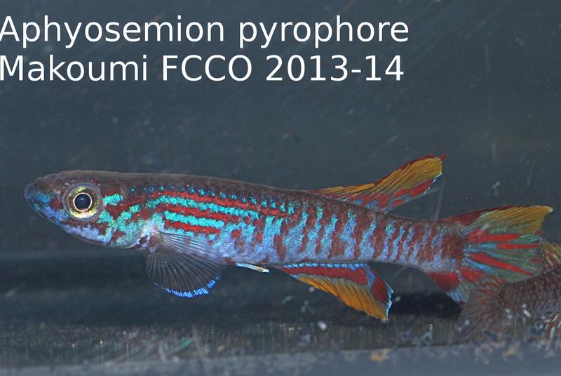 Photos des poissons du congrès KCF 2016 4-410