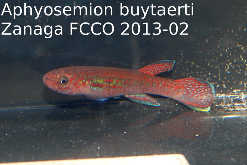 Photos des poissons du congrès KCF 2016 4-610