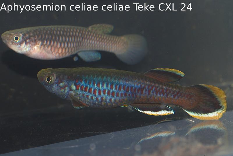 Photos des poissons du congrès KCF 2016 5-1310