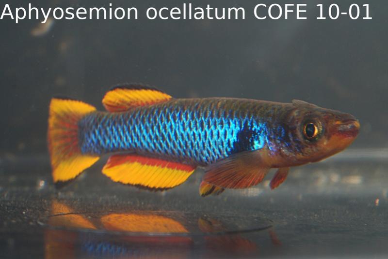 Photos des poissons du congrès KCF 2016 6-1210