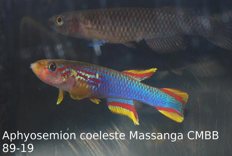 Photos des poissons du congrès KCF 2016 6-1310
