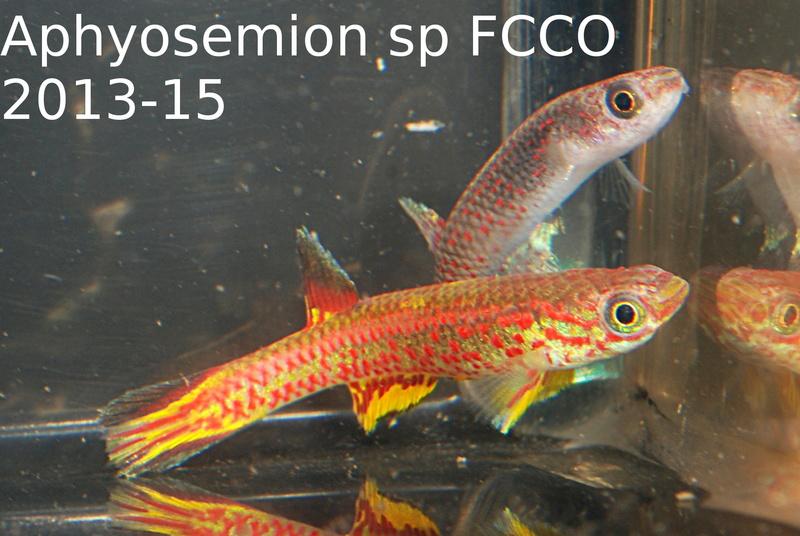 Photos des poissons du congrès KCF 2016 6-2e10