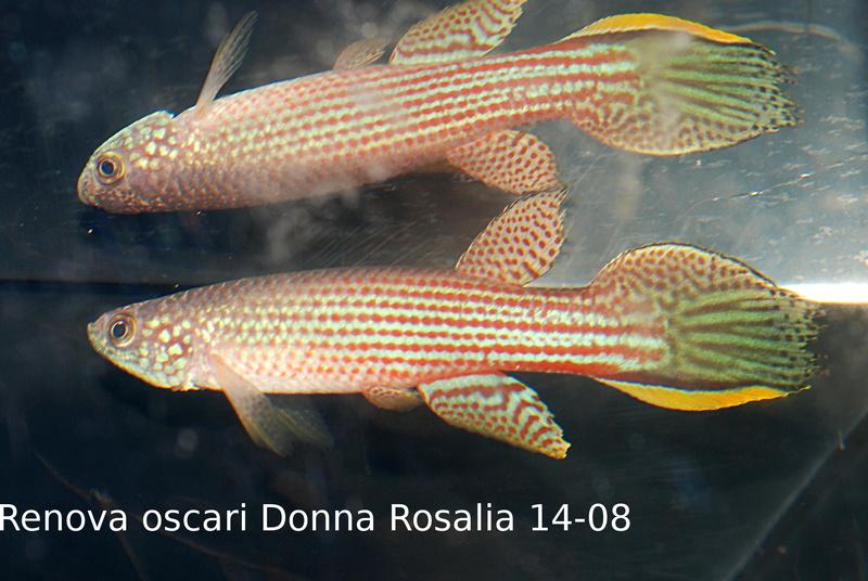 Photos des poissons du congrès KCF 2016 9-2210
