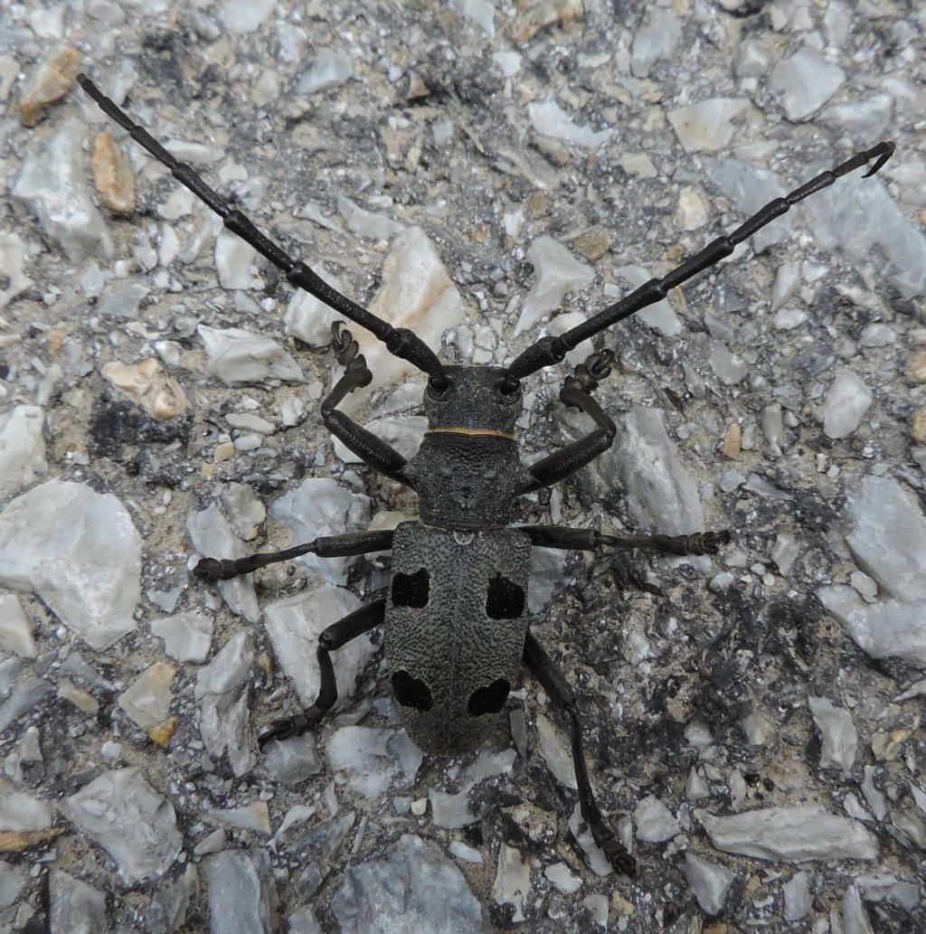 Morimus funereus Dscn3311