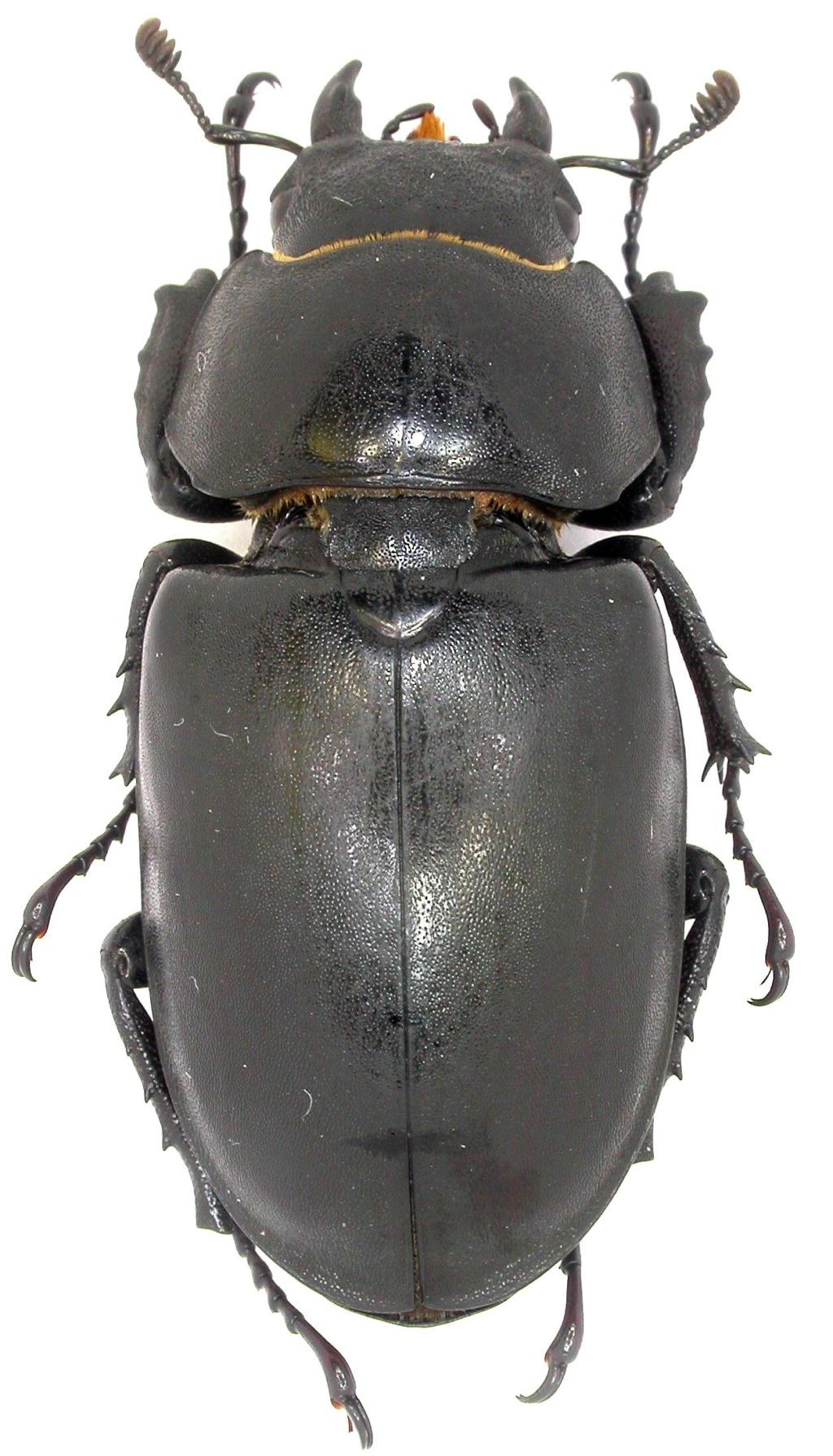 Lucanus sp. ??? Dscn3416