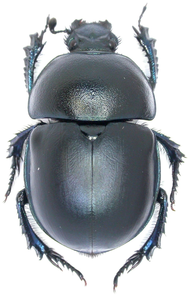 Trypocopris vernalis Dscn5911