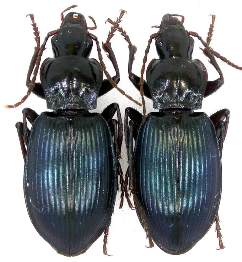Pristonychus cimmerius ? Dscn6216