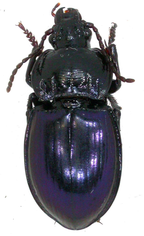 Myas chalybaeus,  Dscn6217