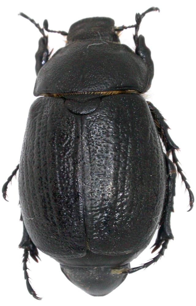 Rhizotrogus  sp. Dscn6219