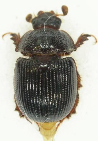 Odontaeus armiger Dscn6910