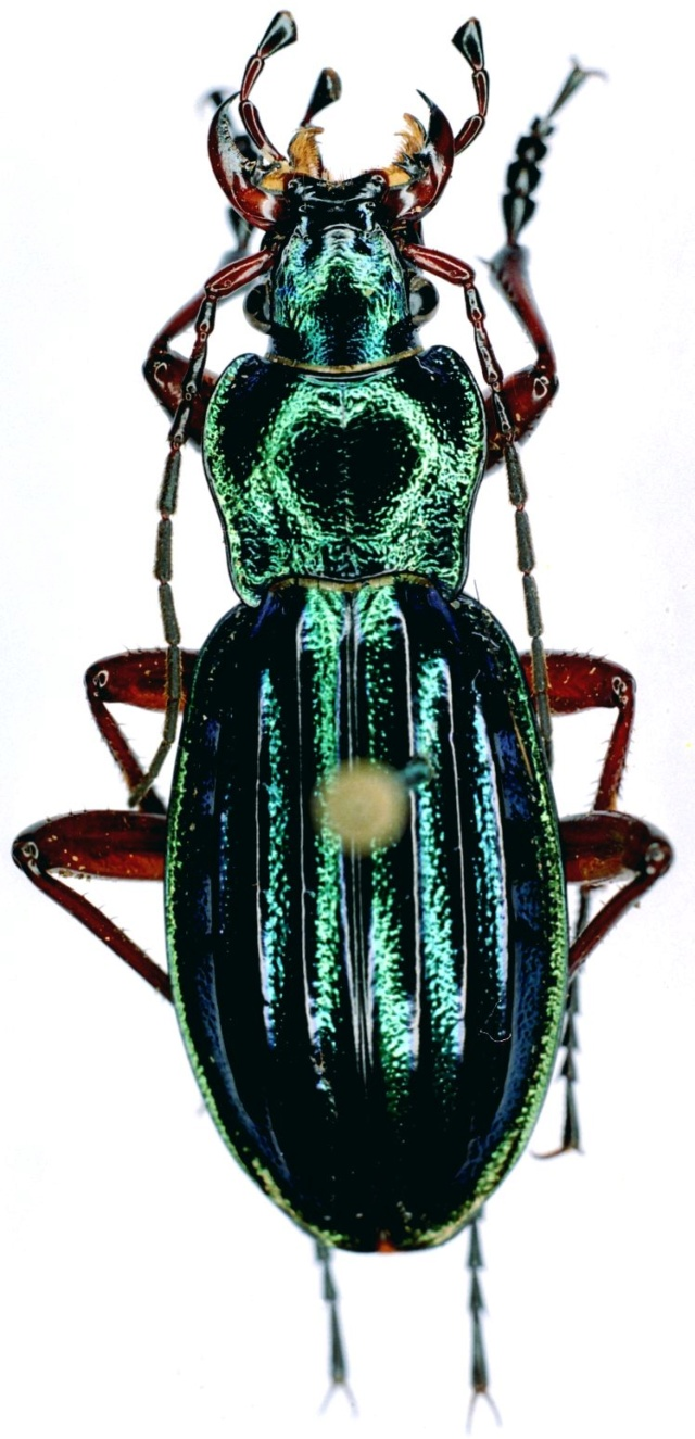 Carabus auronitens in vivo Ft_d_e10