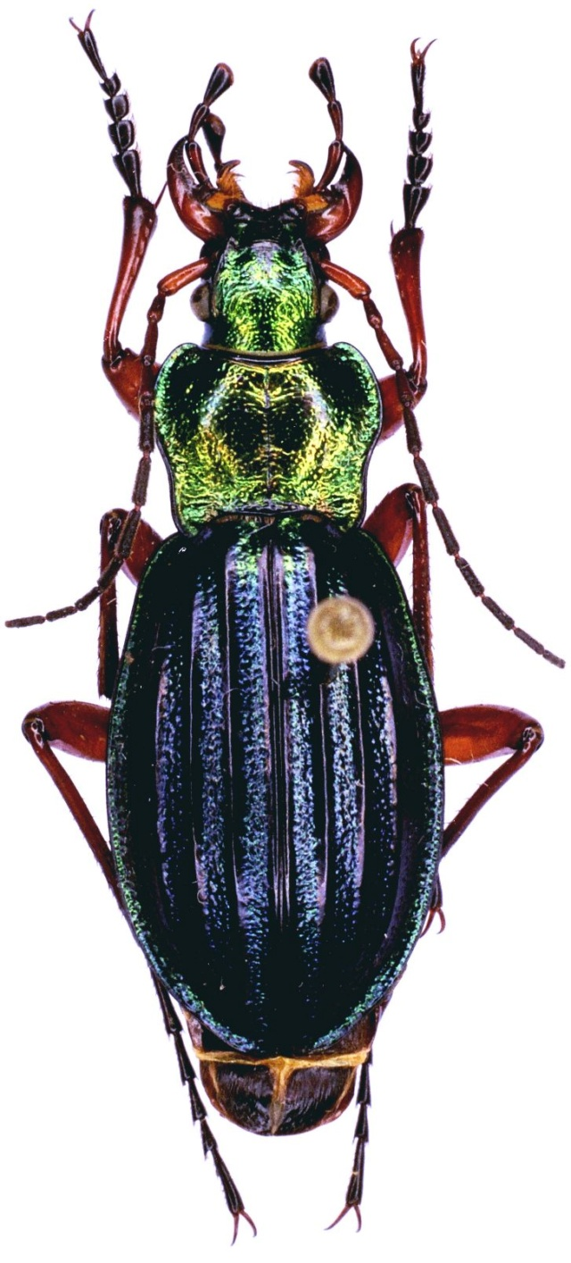 Carabus auronitens in vivo Ft_d_e11