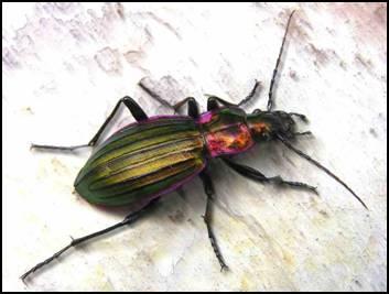 Données Carabidae Image014