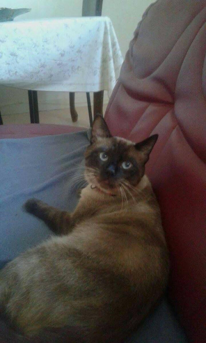 Perdu chat siamois foncé à Tournefeuille  14522210