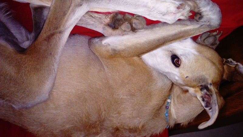 Barbas douce barbuda ,un coeur à prendre Scooby France/ Adoptée - Page 3 Dsc_0019