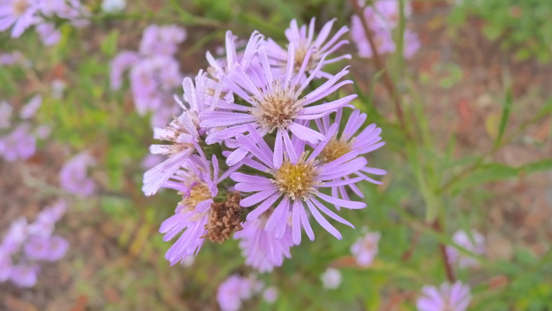 Aster d'automne  - Page 19 P1120210