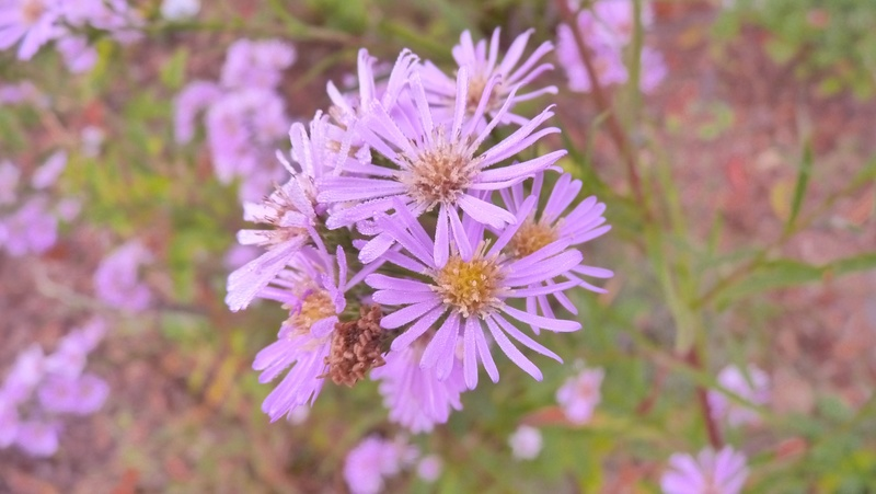 Aster d'automne  - Page 19 P1120211