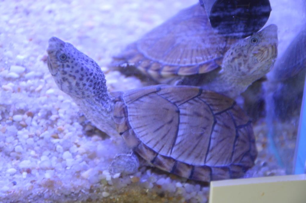 présentation de mes 2 tortue aquatique Dsc_0110