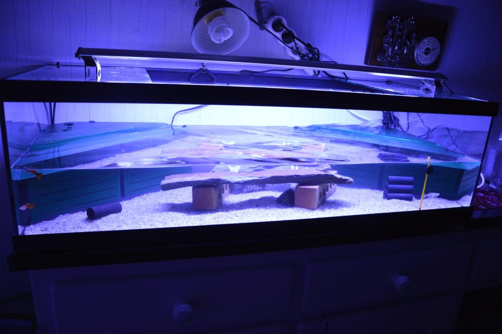 présentation de mes 2 tortue aquatique Dsc_0111