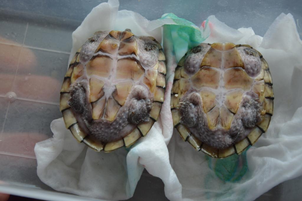 présentation de mes 2 tortue aquatique Dsc_0112