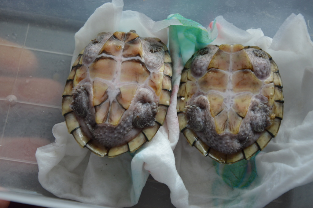 tortue sternotherus carinatus Dsc_0115