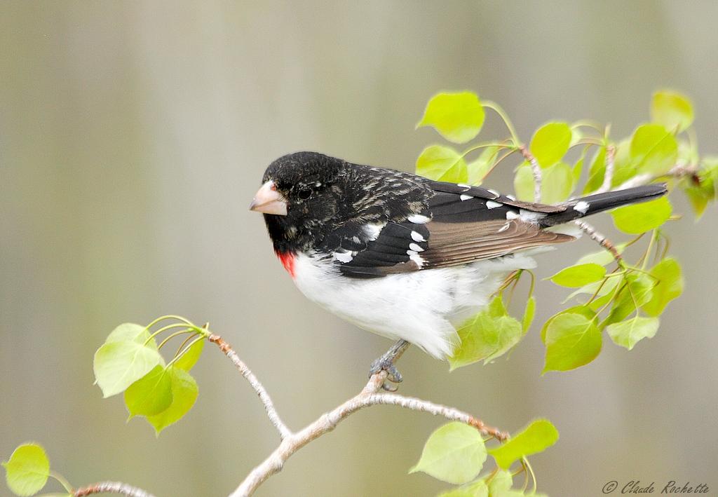 Cardinal à poitrine rose avec un plumage spécial..... Cardin10