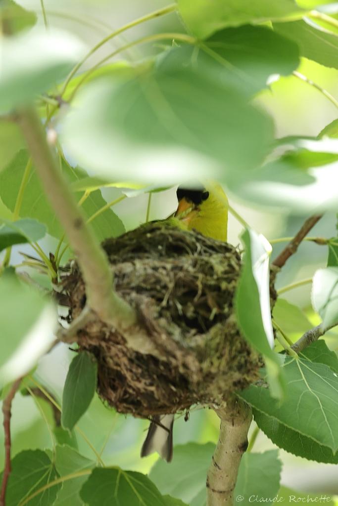 Chardonneret jaune au nid #2 Chardo12