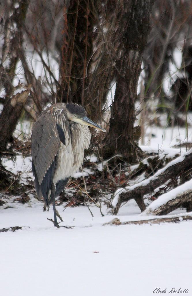 Grand héron: un petit roupillon dans la neige!!! Grand_10