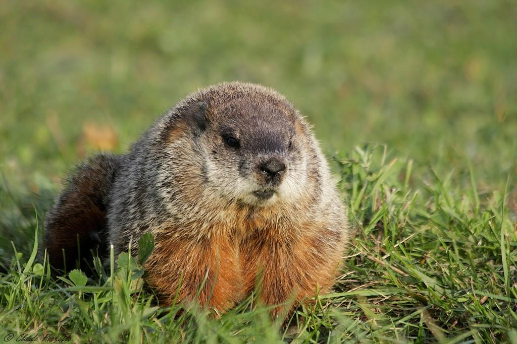 Bien en chair pour passer l'hiver!!!!! Marmot10