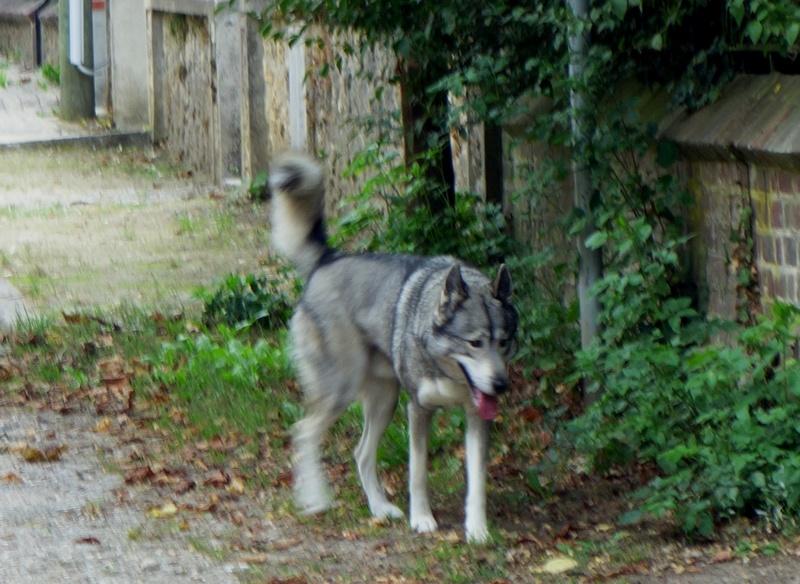 Chien loup perdu Dsc08814