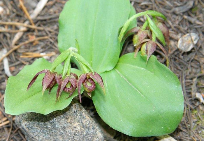 [USA] Orchidées et paysages de l'ouest américain - Page 3 Cyprip10