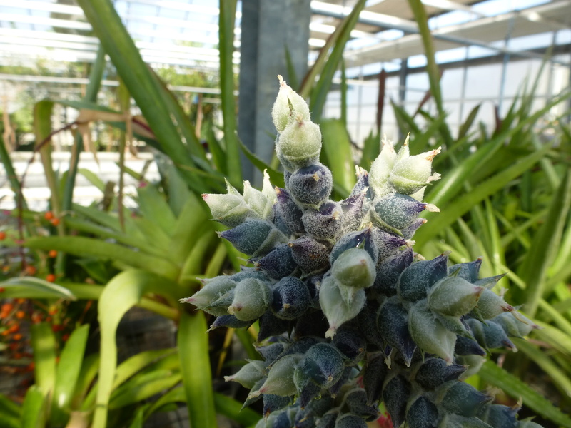 Aechmea pubescens P1210816