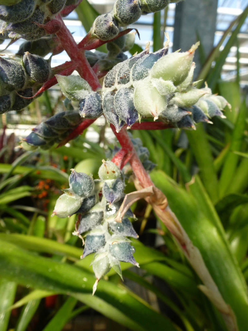 Aechmea pubescens P1210817