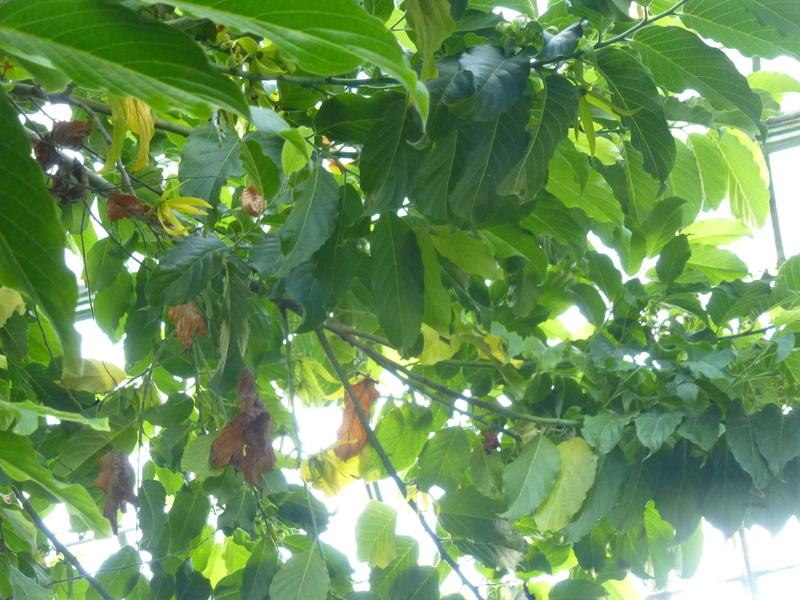 L' ylang ylang est en fleurs dans la serre tropicale  P1210820