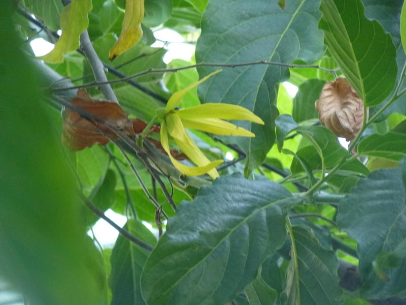 L' ylang ylang est en fleurs dans la serre tropicale  P1210824