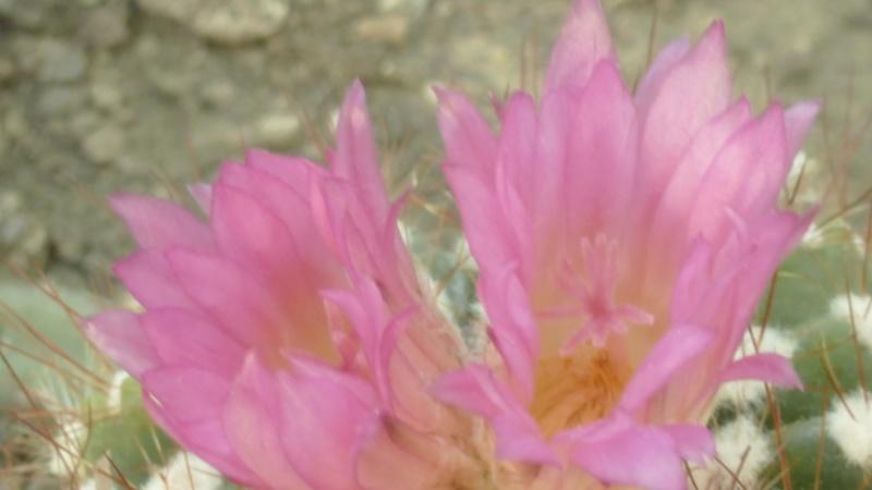 Mammilaria anniana  P1220412