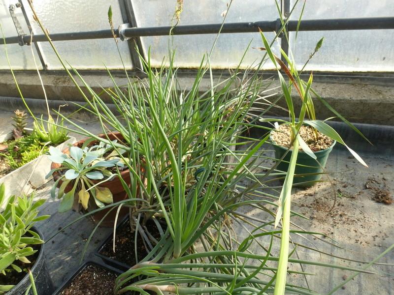 "Bulbine fruticosa "" Hagmark ""  P1220617"