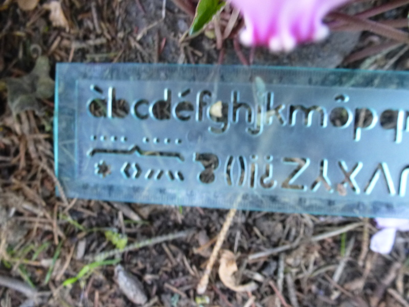 Cyclamens de Naples de mon jardin  P1220711