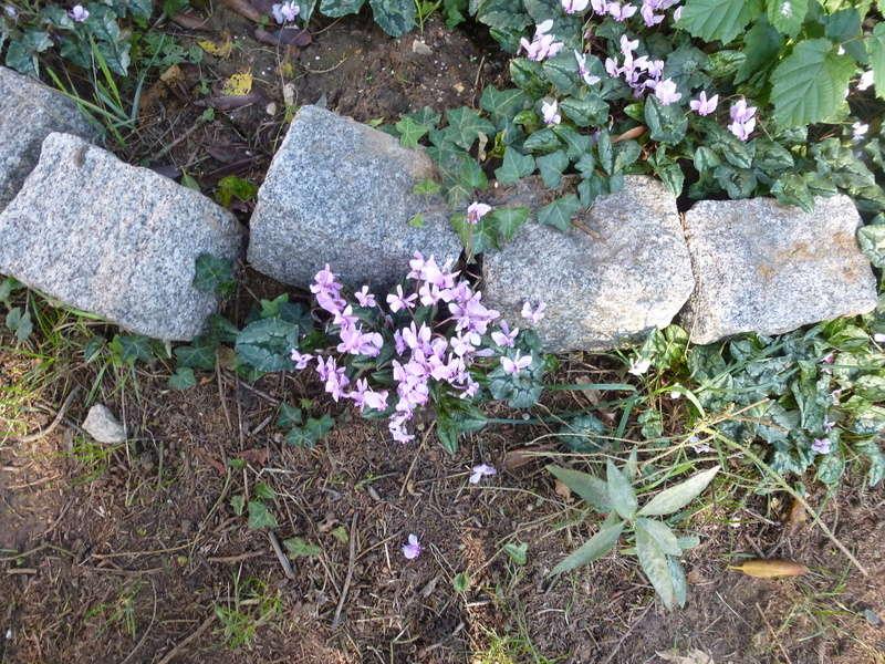 Cyclamens de Naples de mon jardin  P1220713